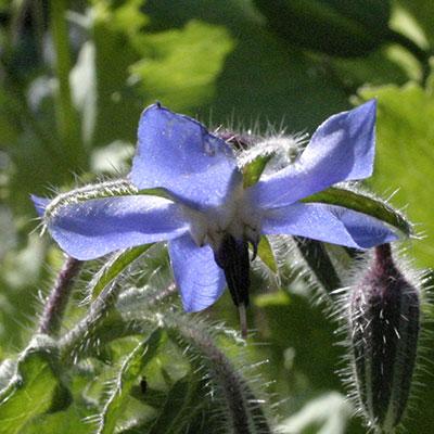 flower borage