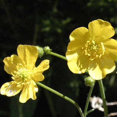 flower buttercup