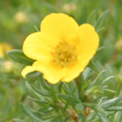 flower cinquefoil