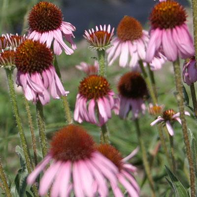 flower echinacea 1