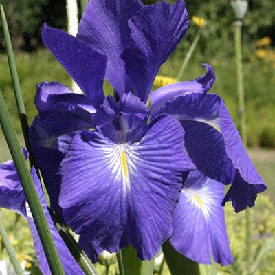 flower iris 1