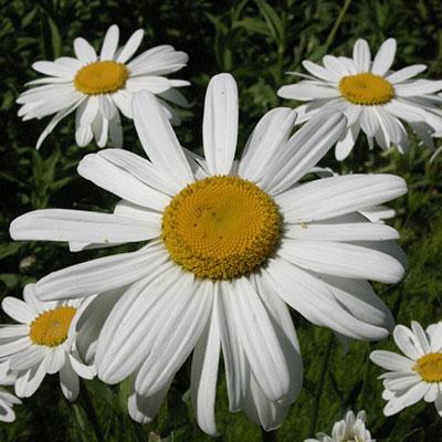 flower s daisy
