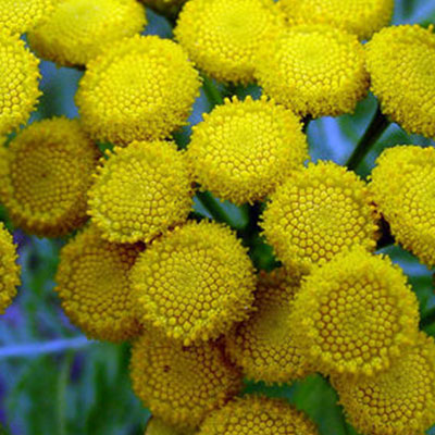 flower tansy