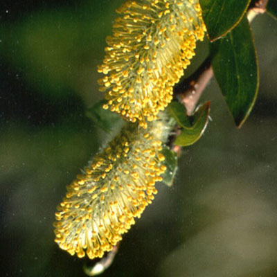 flower tremblingpoplar