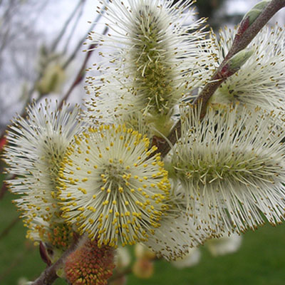 flower whitewillow