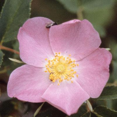 flower wildrose 1